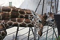 Giraffes62