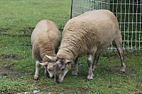 Sheep04