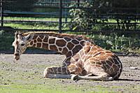 Giraffe25