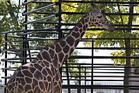 Giraffe26