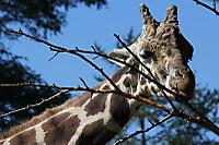 Giraffe27