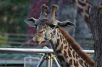 Giraffe28