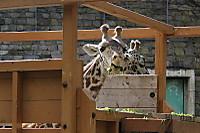 Giraffe29