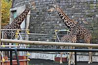 Giraffe30