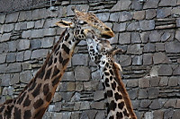Giraffe31