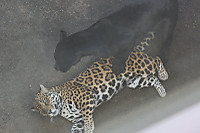 Jaguar08