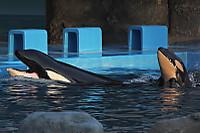 Orca23