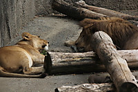 Lions36