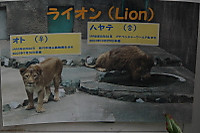 Lions37