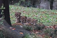 Cheetah01