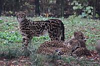 Cheetah02