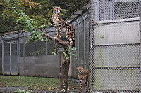 Cheetah03