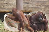 Orangutan_t03