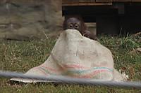 Orangutan_t04