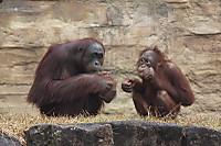 Orangutan_t05