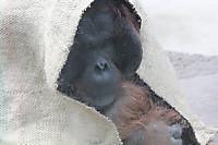 Orangutan_t06