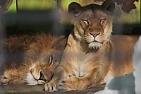 Lions_k09