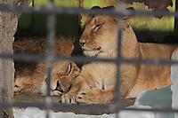Lions_k10