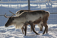 Caribou58
