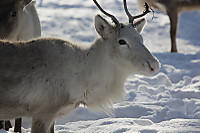 Caribou59