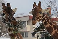 Giraffes68