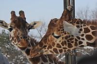 Giraffes69