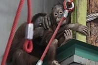 Orangutan40