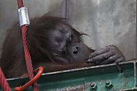 Orangutan41