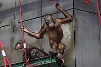 Orangutan42