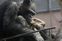 Chimpanzee18