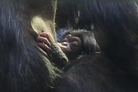 Chimpanzee21