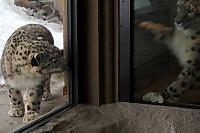Snowleopard_m10