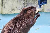 Beaver38