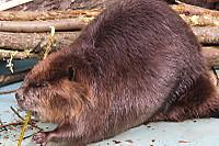 Beaver39