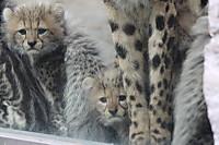 Cheetah04
