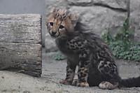 Cheetah05