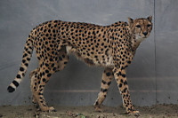 Cheetah09
