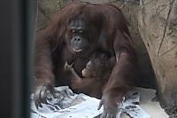 Orangutan_t07