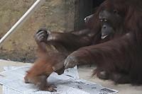 Orangutan_t08