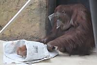 Orangutan_t09