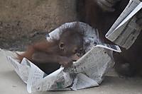 Orangutan_t10