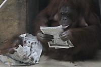 Orangutan_t11