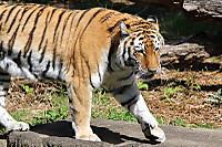 Tiger_ha07
