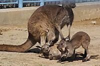 Kangaroo_h02