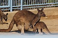 Kangaroo_h03