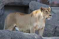 Lion_ha01