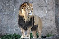 Lion_ha03