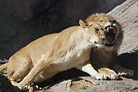 Lions_h06