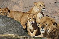 Lions_h09