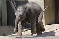 Asian_elephant13